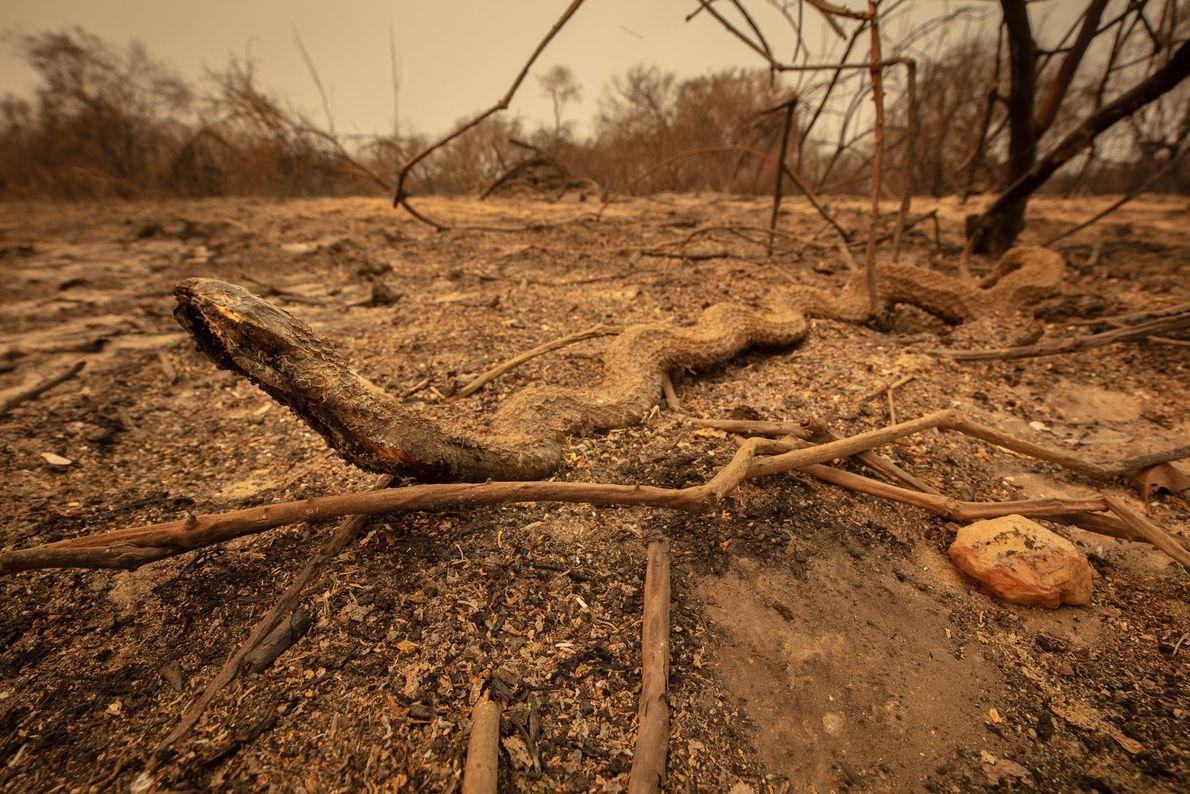 Cobra morta no incêndio ao lado da estrada no norte do Pantanal.