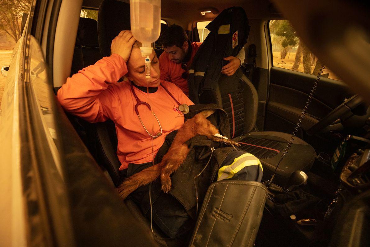 A veterinária Carla Sássi cuida de um quati cujas patas foram gravemente queimadas. O animal morreu ...