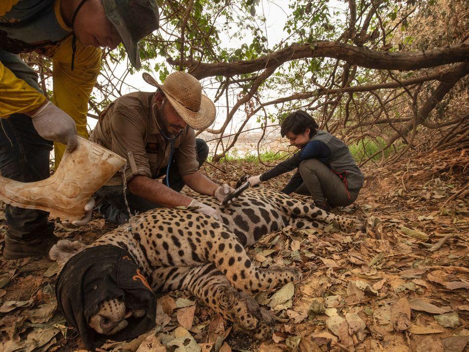 Onças-pintadas e outros animais feridos nos incêndios do Pantanal são socorridos por voluntários