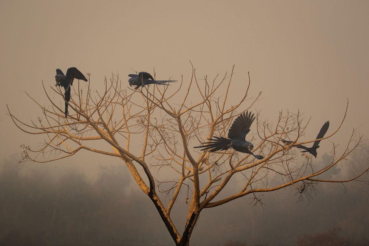 Um grupo de araras-azuis-grandes empoleiradas em uma árvore queimada pelos incêndios no Pantanal brasileiro.