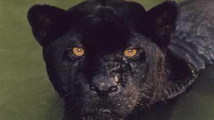 Talvez você não saiba o que é uma pantera negra de verdade