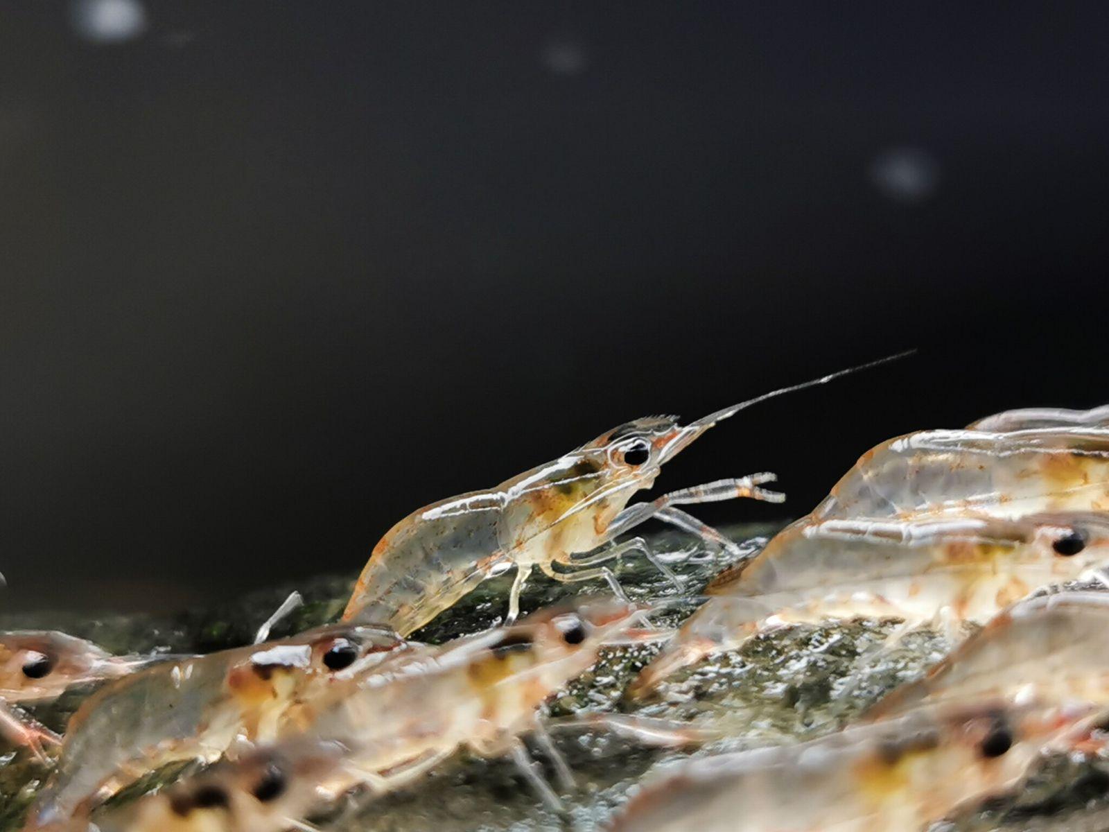 Cada camarão pode caminhar até 20 metros antes de retornar à água.