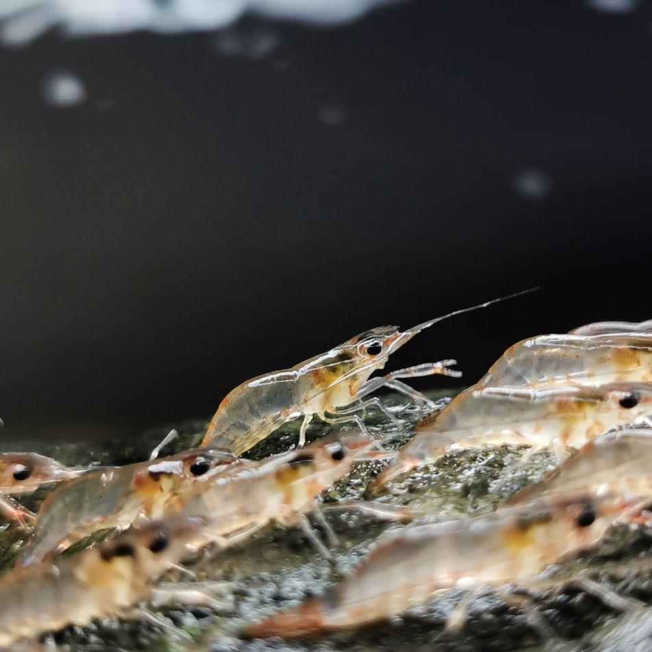 Esses camarões caminham fora d'água – e agora sabemos por quê