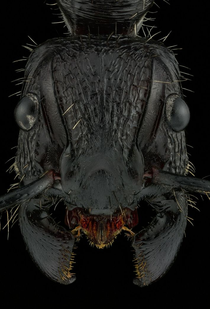 paraponera-clavata---nicaragua