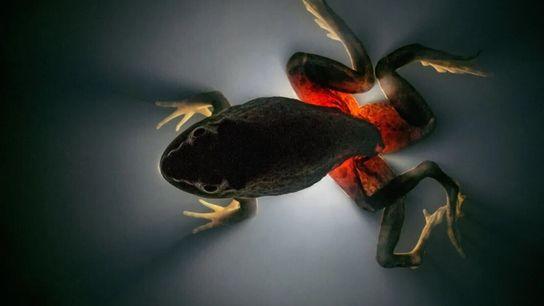 Verme trematódeo Ribeiroia, associado a deformações de membros em sapos, como essa rã-touro-americana. O verme parasita ...