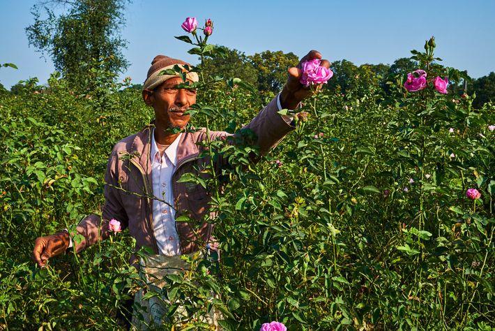 Nas regiões do interior próximas a Kannauj, as rosas damascenas são colhidas cedo todos os dias ...