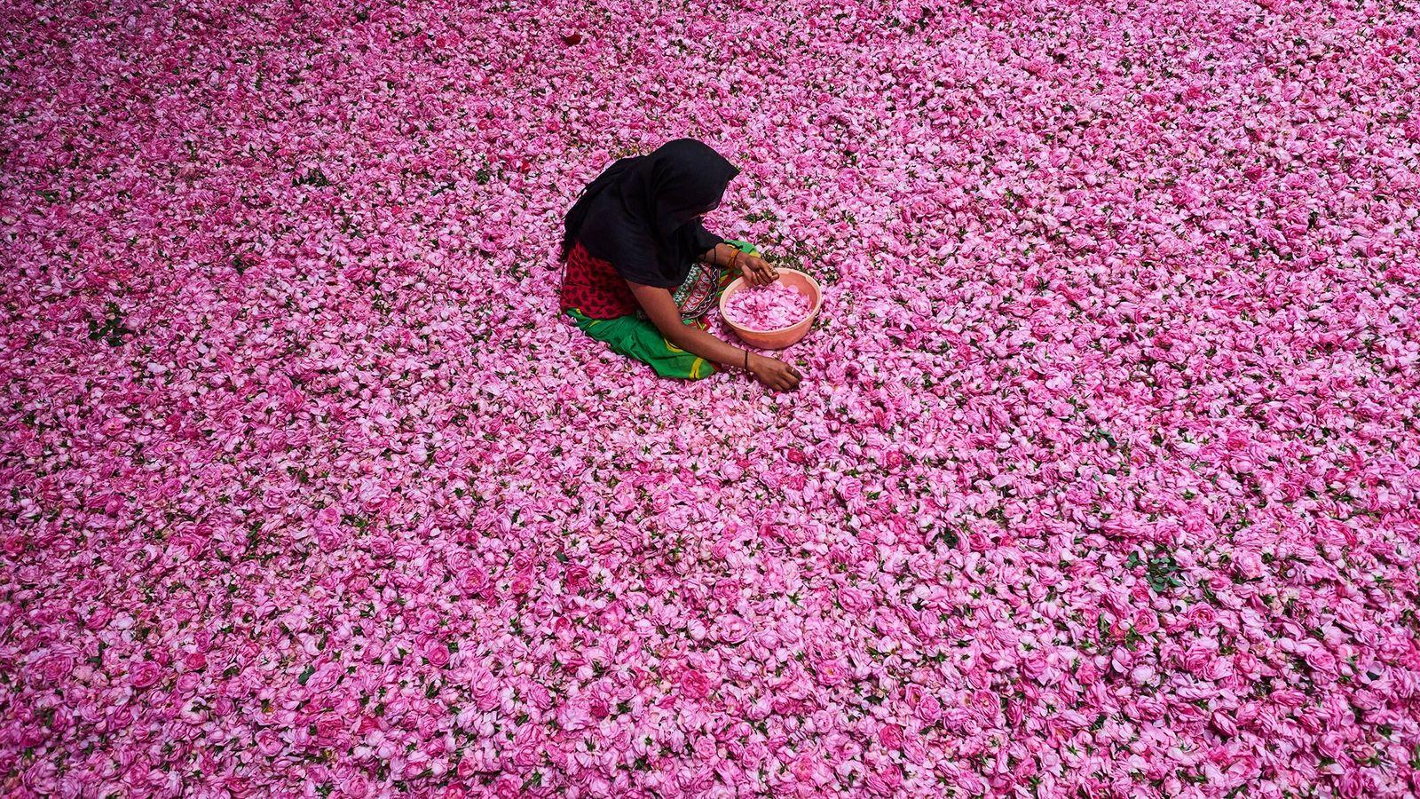 Jovem tira pétalas de uma imensidão de rosas num centro de triagem em Kannauj, na Índia. ...