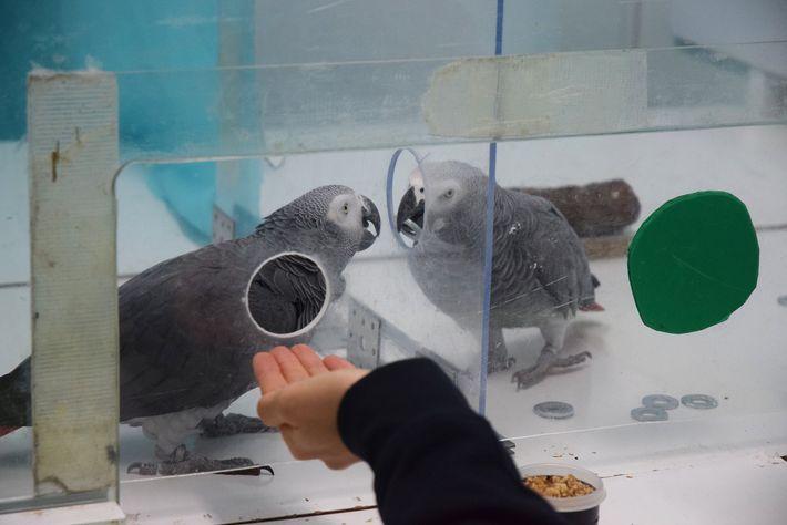 Os papagaios-cinzentos africanos Nikki e Jack trocaram fichas um com o outro durante um experimento recente.