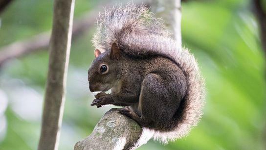O caxinguelê, como a espécie Guerlinguetus brasiliensis é conhecida na Mata Atlântica, é um dos esquilos mais comuns no ...