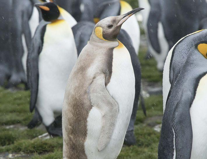 Um pinguim-rei de coloração estranha se destaca em uma fotografia tirada na Baía de St. Andrews ...