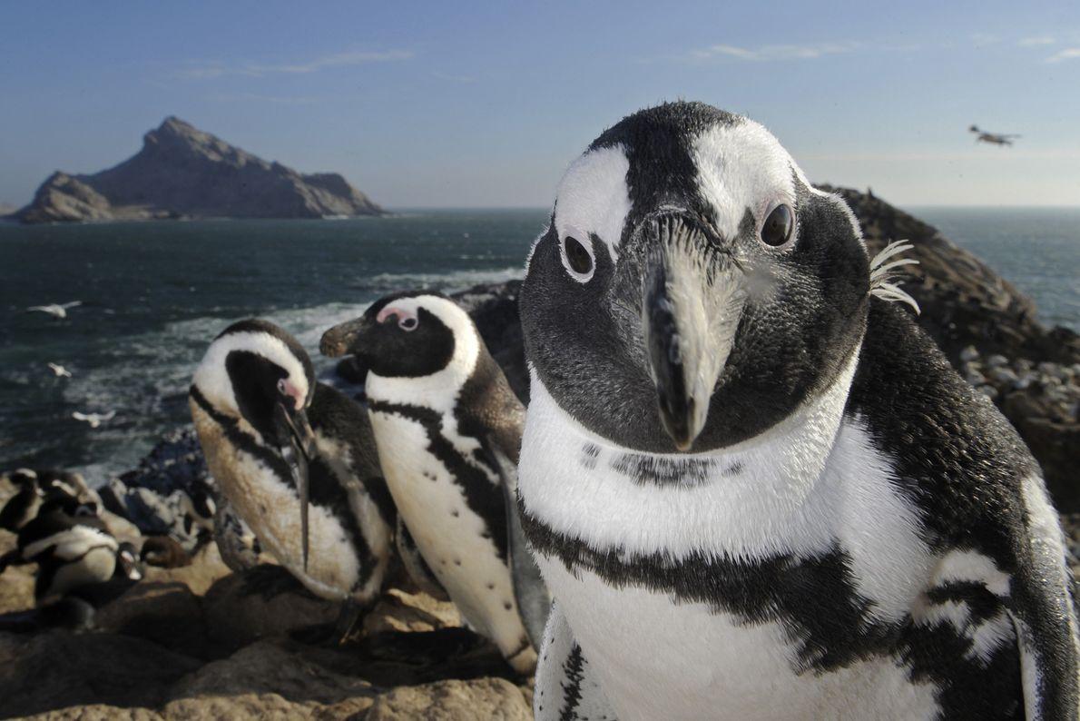 Um pinguim-africano toma a frente sobre um rochedo em Mercury, uma ilha desabitada próxima à costa ...