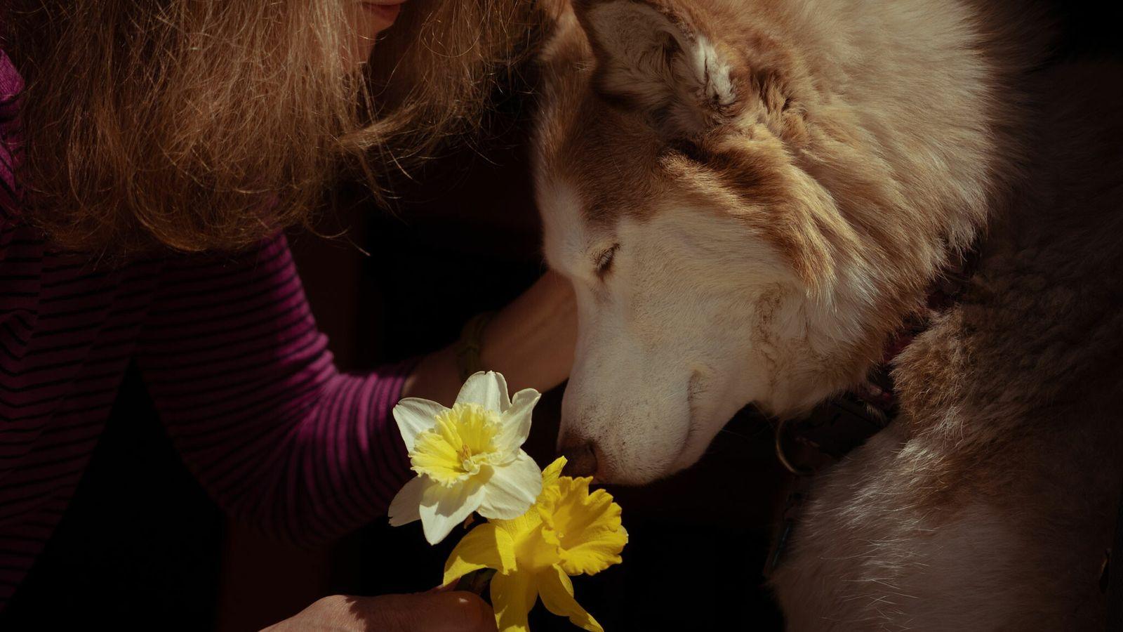 O cão de terapia chamado Casey se aconchega junto a Janice — cujo sobrenome não foi ...