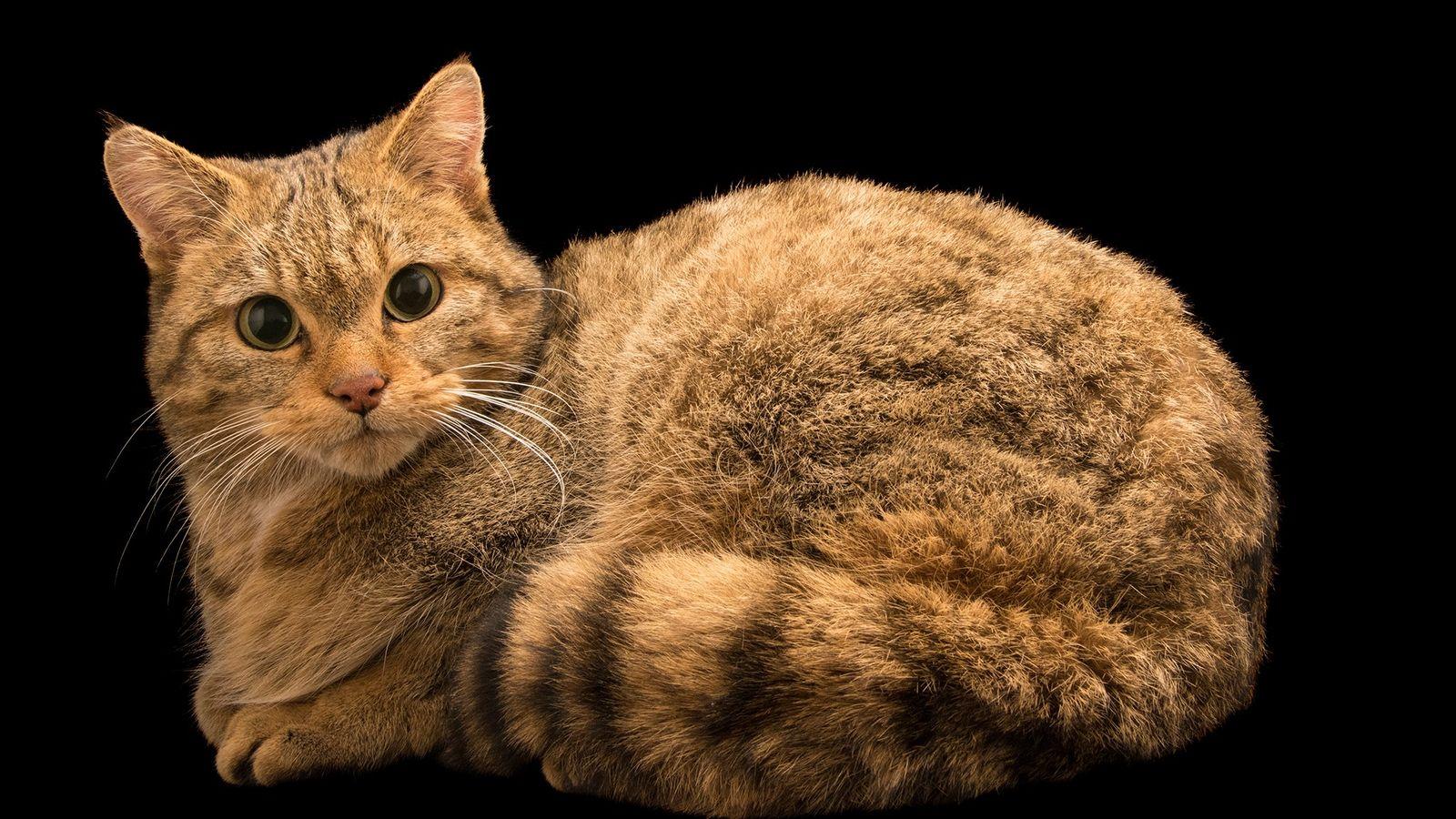 O gato-selvagem-europeu (na imagem, um animal no parque e zoológico Parco Natura Viva, na Itália) compartilhou ...