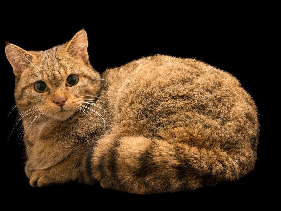 Encontrados restos mortais de ancestrais dos gatos domésticos em cavernas polonesas