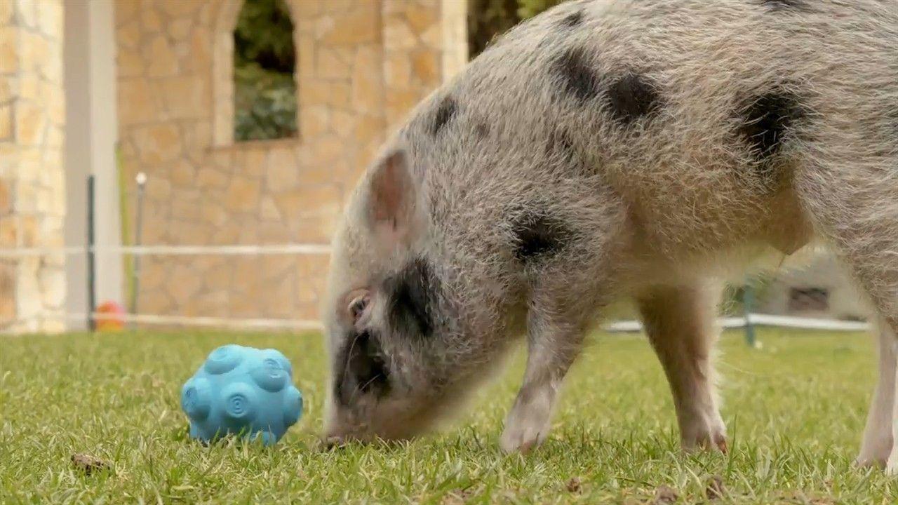Porquinhos de estimação são bons companheiros? | National Geographic