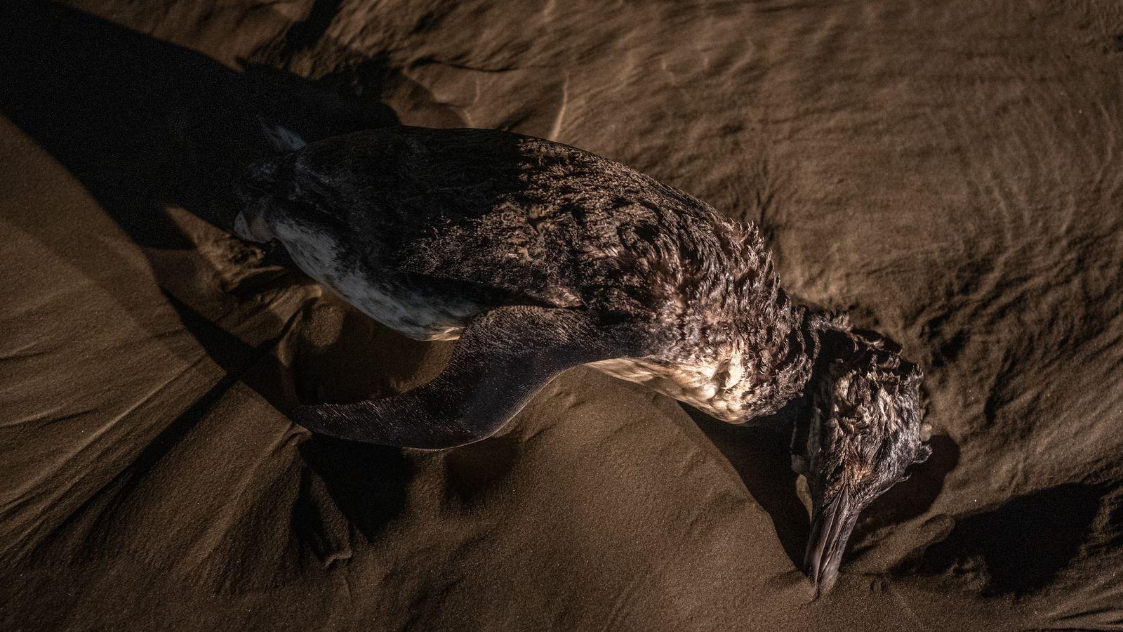 pinguins mortos