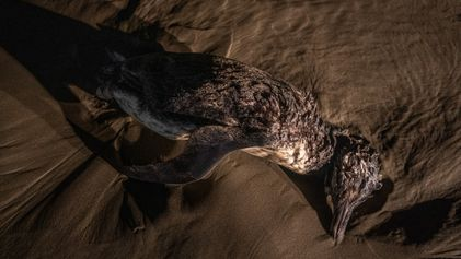 Milhares de pinguins estão morrendo nas praias brasileiras - muitos com lixo no estômago
