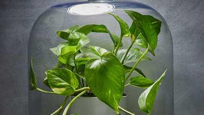 Quais plantas domésticas você deve comprar para purificar o ar? Nenhuma.