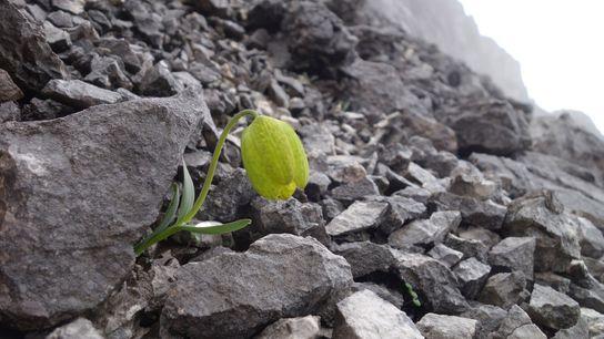 A pequena planta Fritillaria delavayi produz apenas um bulbo de flor por ano. Procurada para uso ...