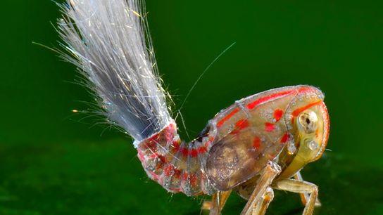 Uma fotografia do jovem Fulgoromorpha e seu estranho tufo.