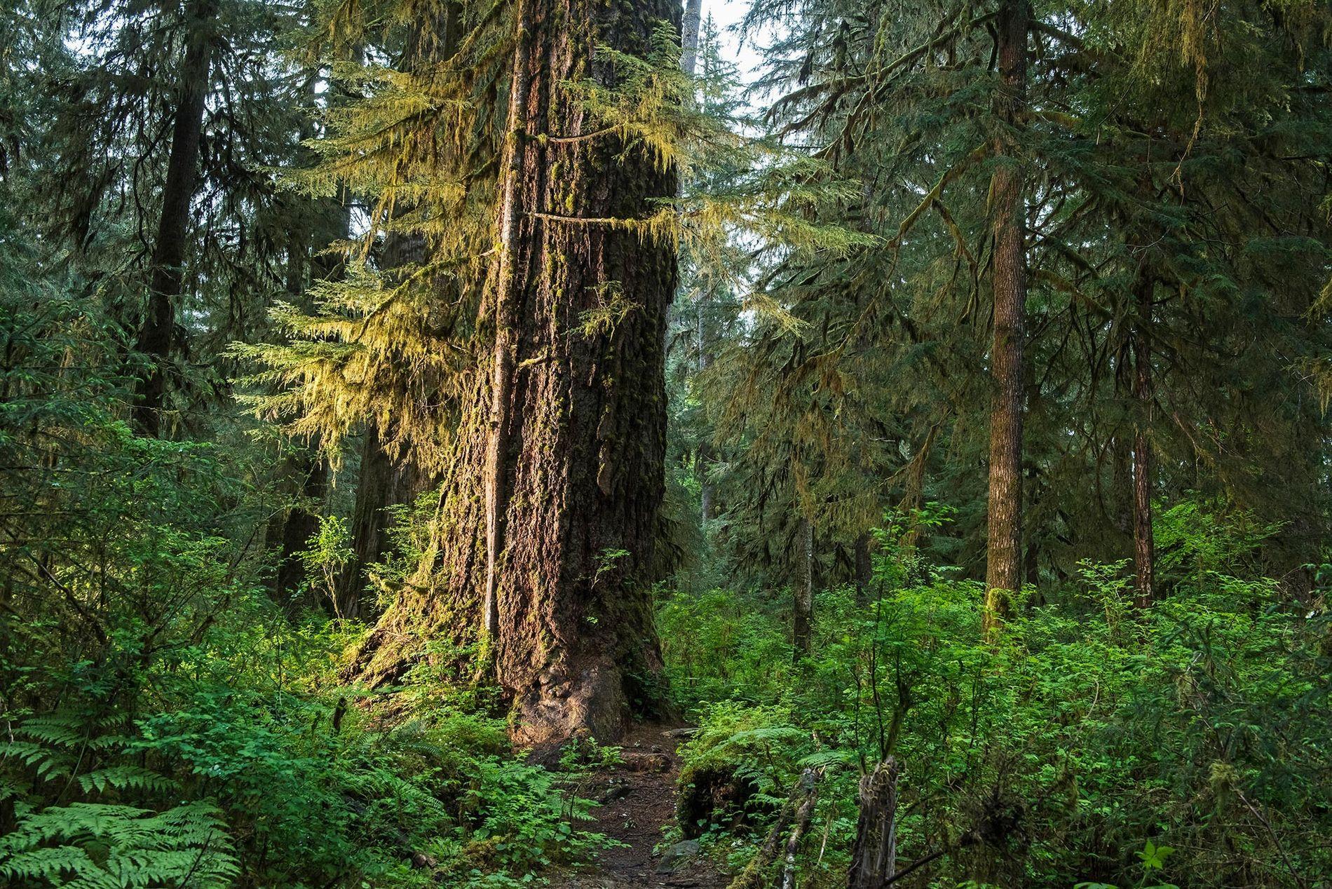 Florestas como a Hall of Mosses (Floresta de Musgos) no Parque Nacional Olympic em Washington constituem ...