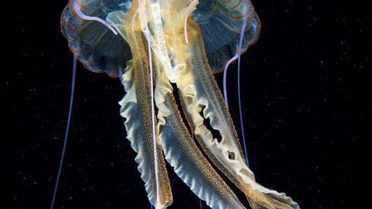 Embalagem plástica de cigarro encontrada dentro de água-viva