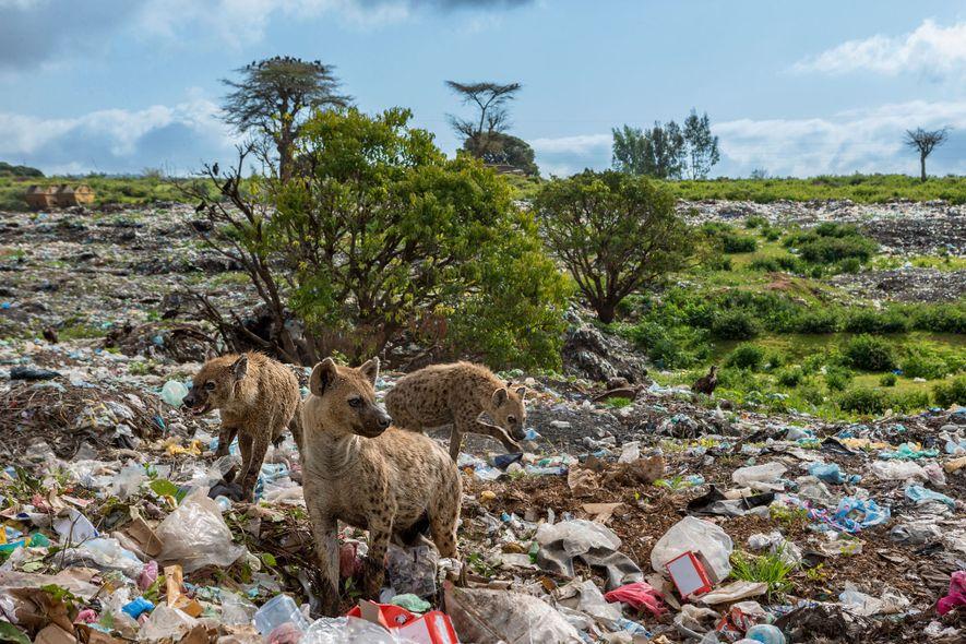 Um grupo de hienas busca comida num aterro sanitário em Harrar, na Etiópia. Elas ficam à ...