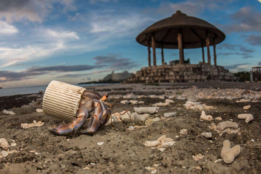 Em Okinawa, Japão, um caranguejo-hermitão aproveita uma tampa de plástico para proteger o abdômen. Os banhistas ...