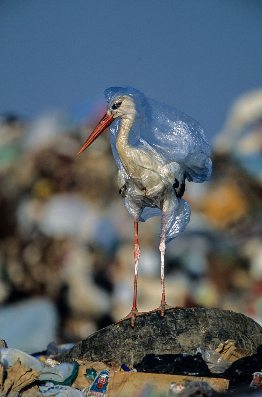 Na Espanha, a cegonha acabou libertada pelo fotógrafo. Uma única sacola pode matar mais de uma ...