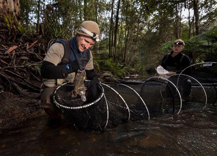 O pesquisador de ornitorrinco Joshua Griffiths, auxiliado por Samuel Bell, recolhe um ornitorrinco de uma rede ...