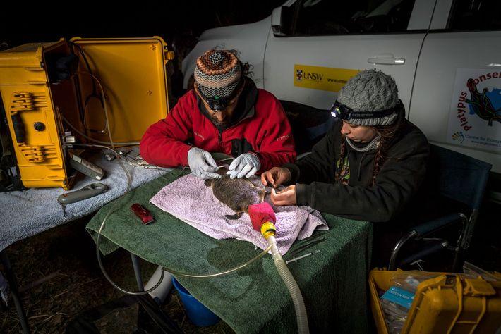 Gilad Bino (esquerda) e Tahneal Hawke, ambos da Iniciativa de Conservação de Ornitorrincos da Universidade de ...