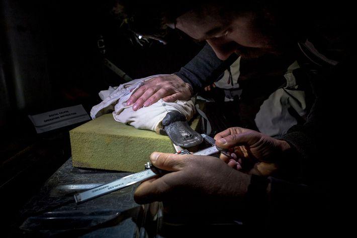 Pesquisadores de ornitorrincos tiram as medidas de um ornitorrinco capturado como parte de um estudo pela ...