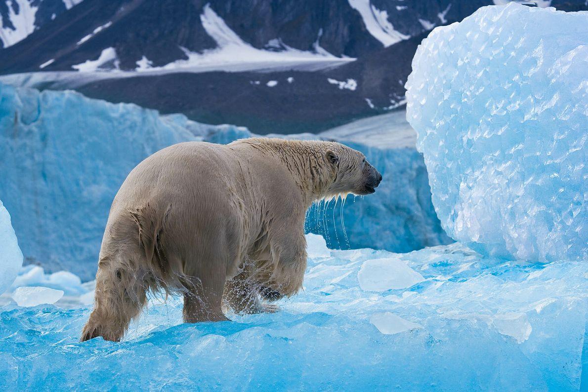 Caça polar