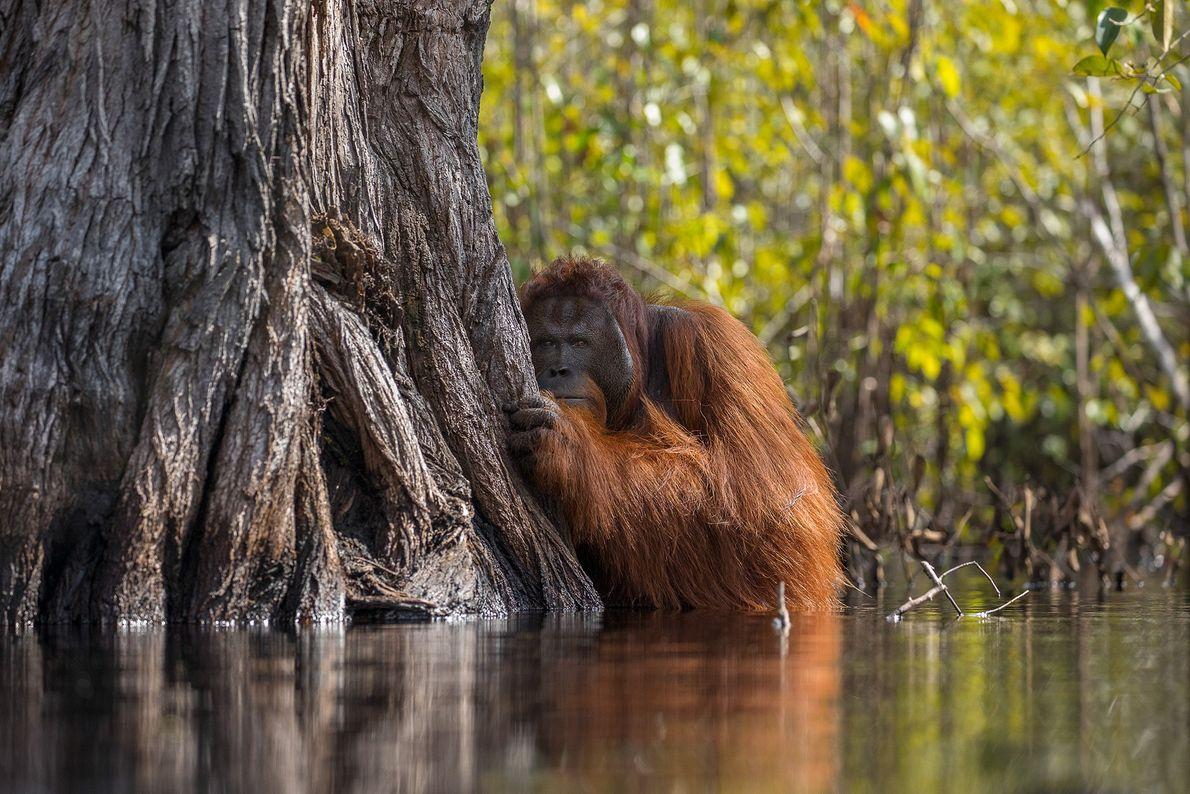 Foto de orangotando no rio