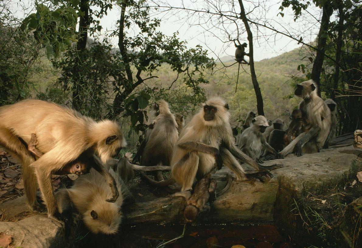 Encontro de macacos