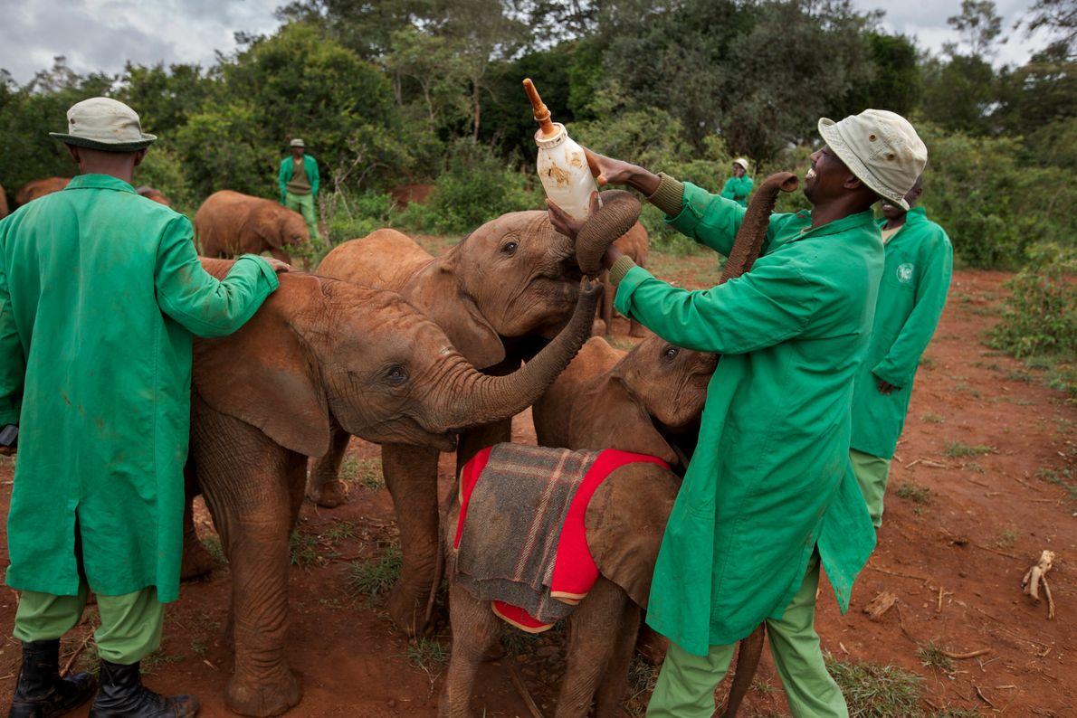Elefantes orfãos disputam, de maneira amistosa, uma garrafa de uma fórmula com leite e outros alimentos liquidificados ...