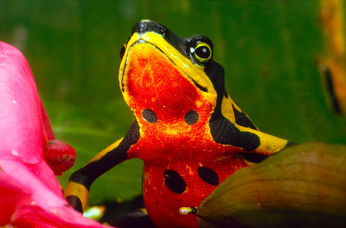 foto de uma rã-arlequim amarela da barriga vermelha com manchas pretas
