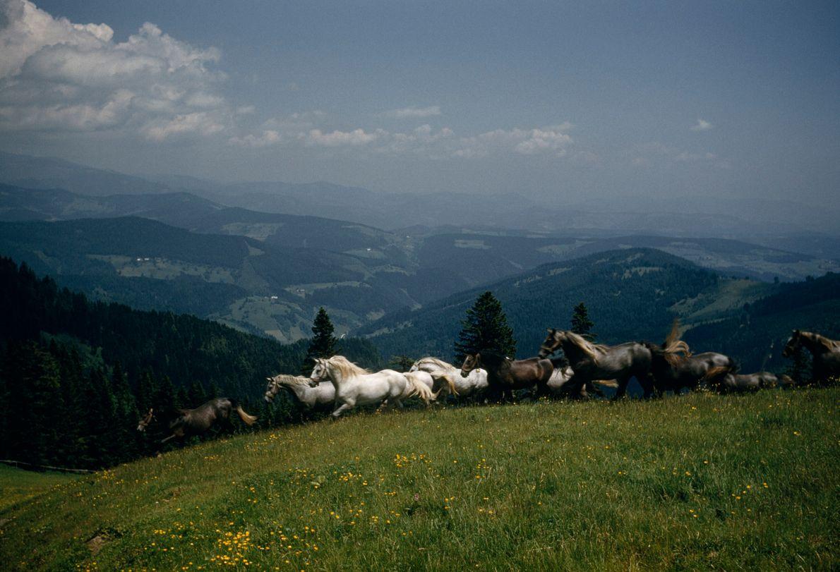 jovens cavalos correm livres