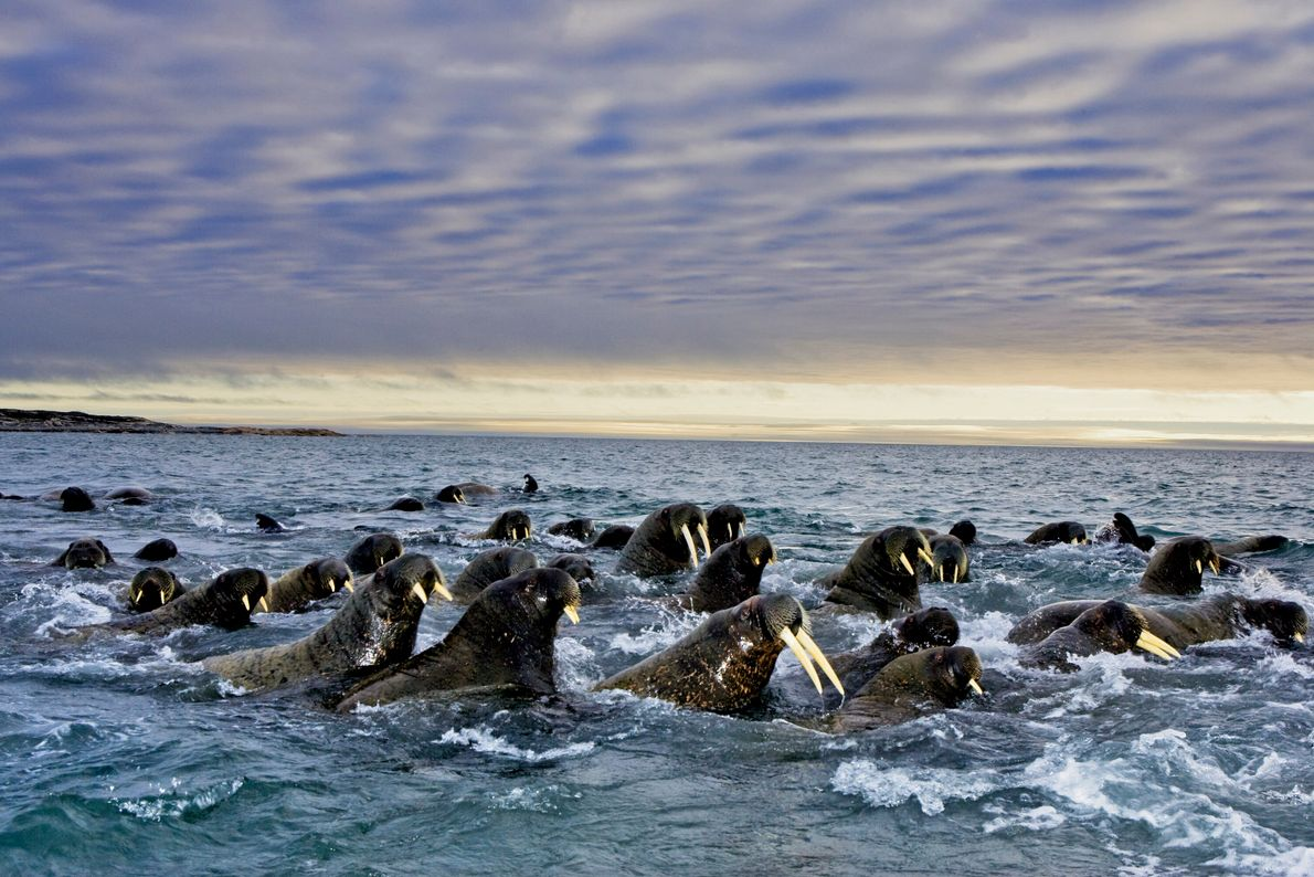 Dezenas de morsas nadam lado a lado no mar