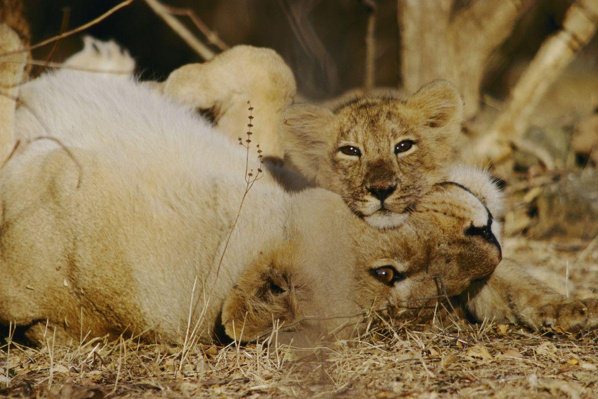 leoa e filhote