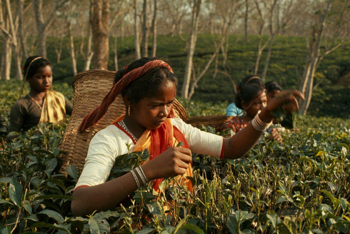 mulheres colhendo chá