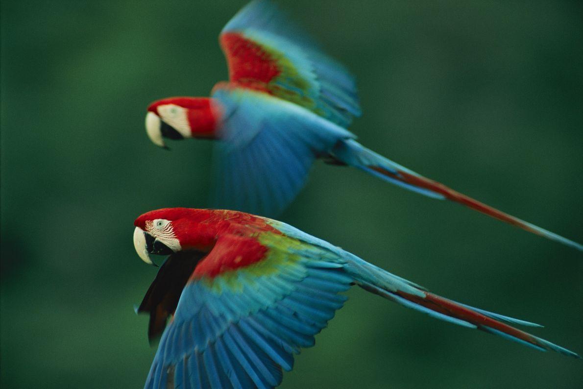 Araras-vermelhas voam lado a lado