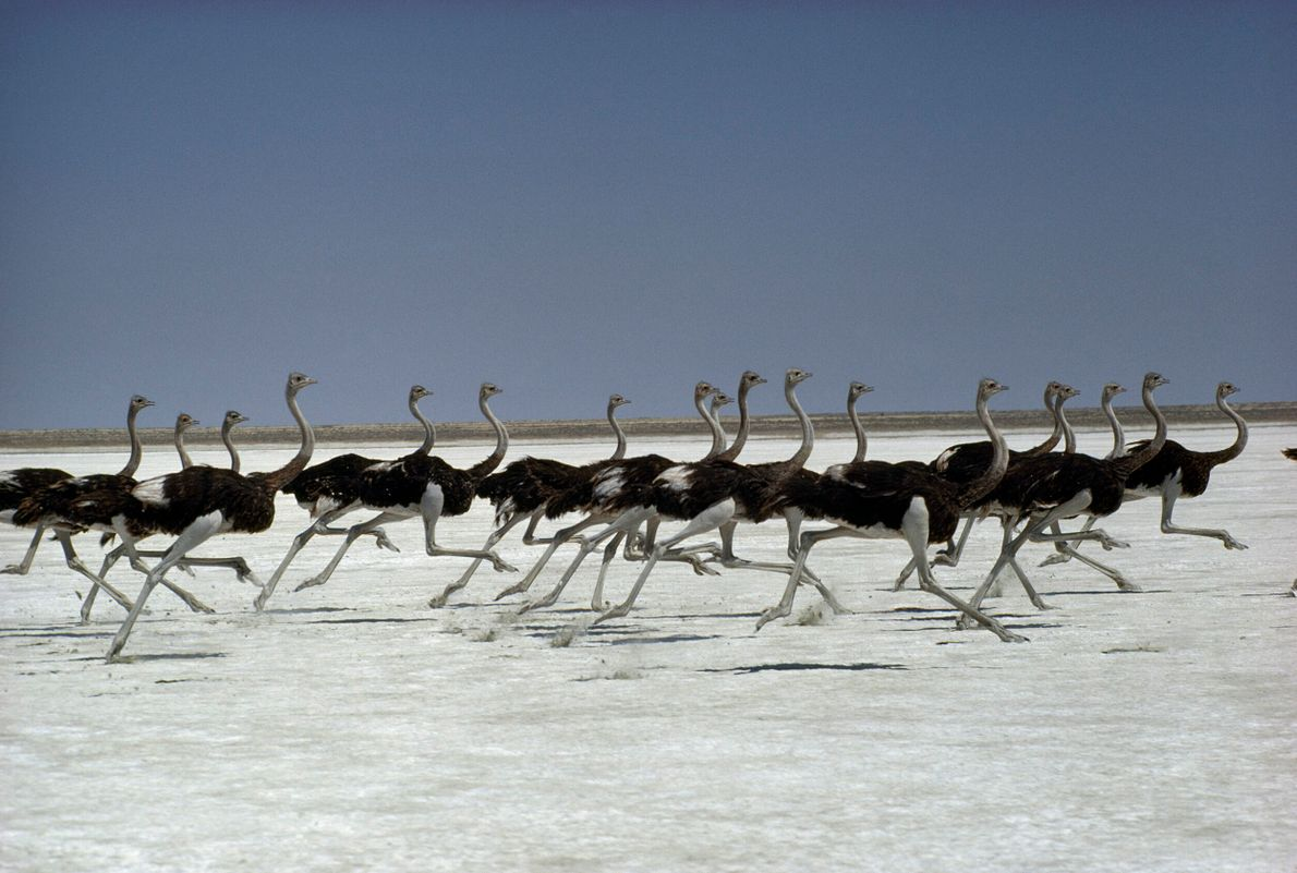 dezenas de avestruzes correndo em um salar