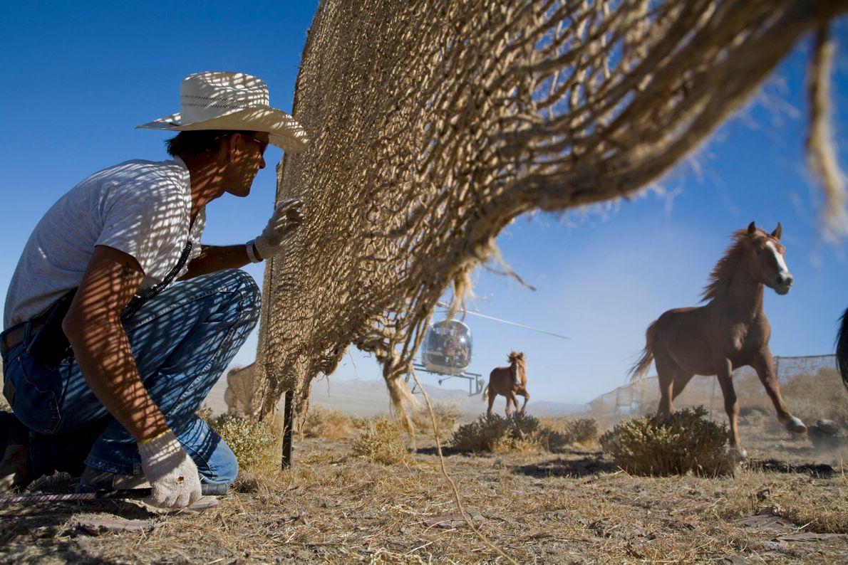 vaqueiros agrupam cavalos selvagens