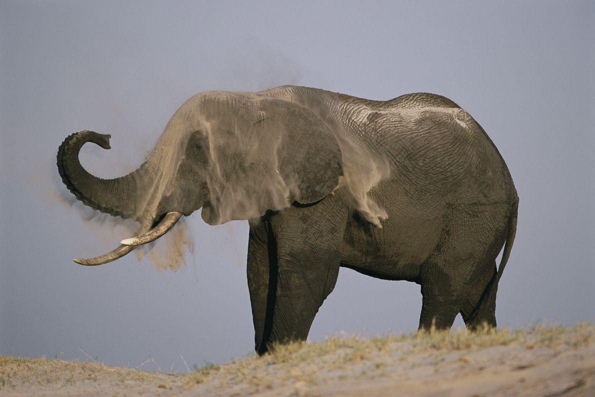 elefante se jogando areia com a romba nas costas