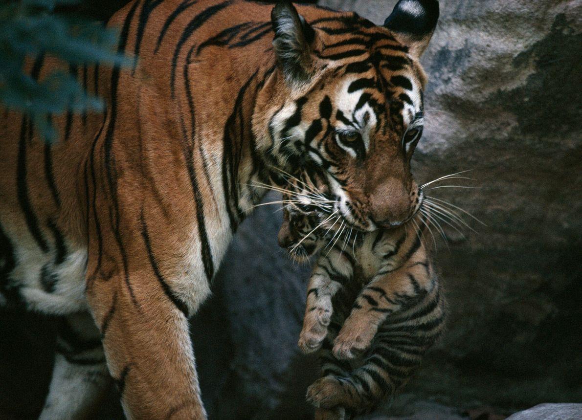 tigre carrega cria pela boca