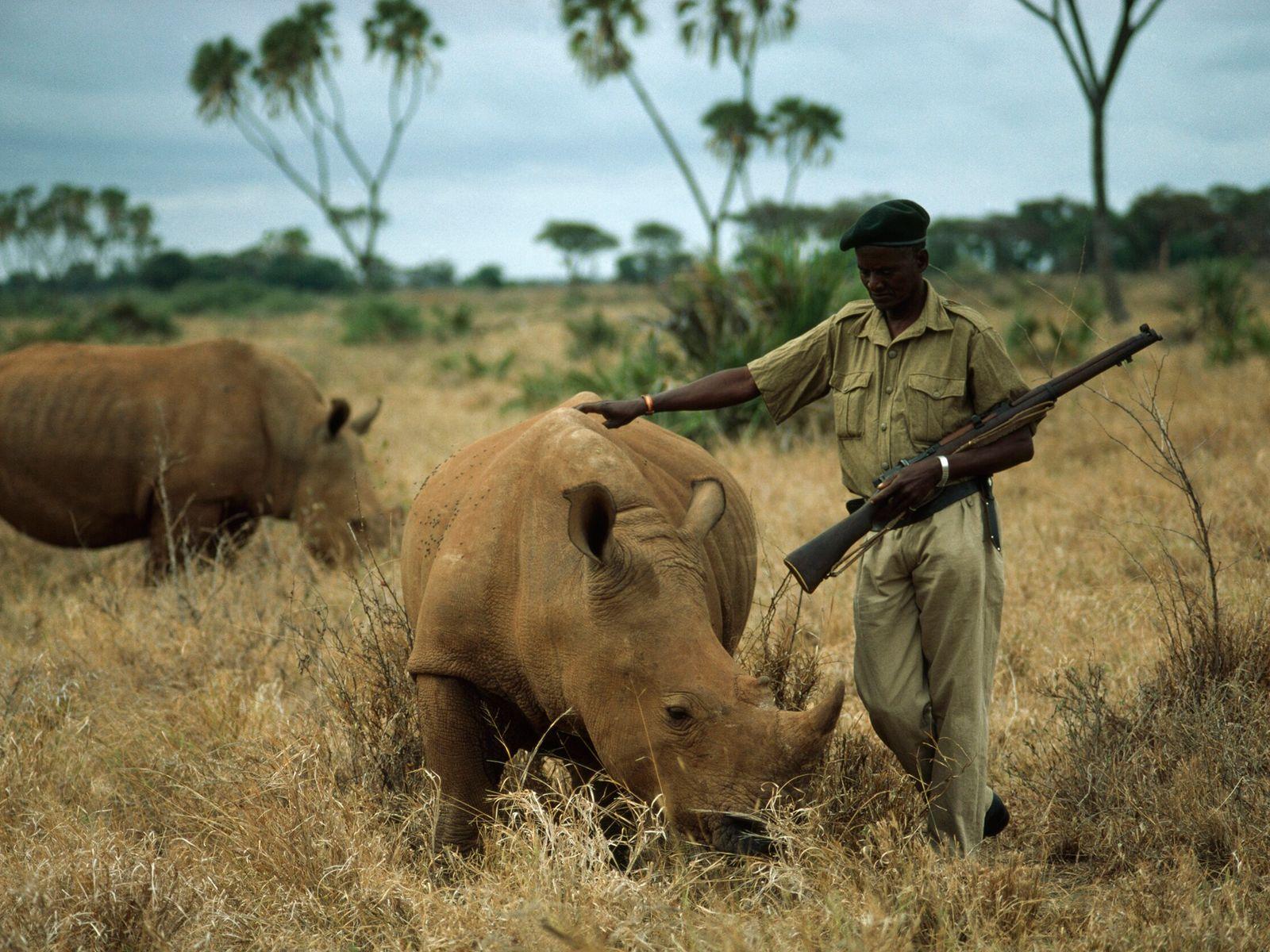 guarda-florestal segurando espingarda acaricia um rinoceronte em uma savana