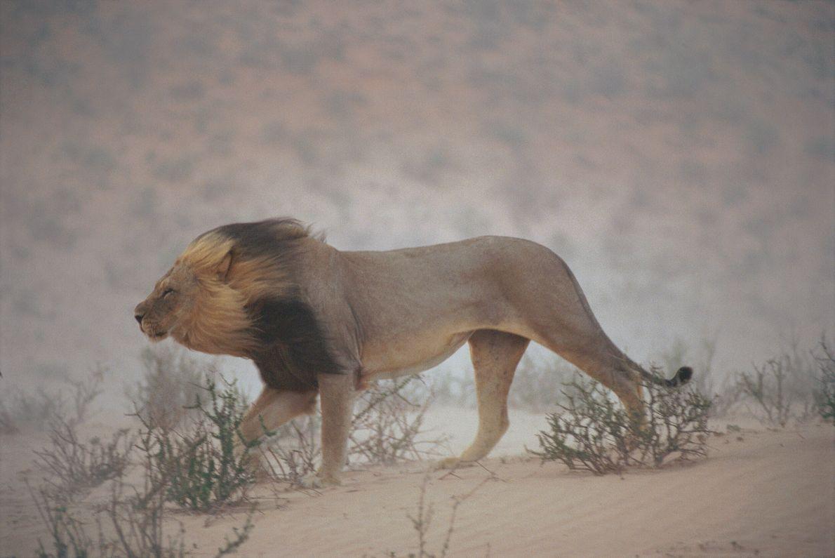 leão caminha no deserto
