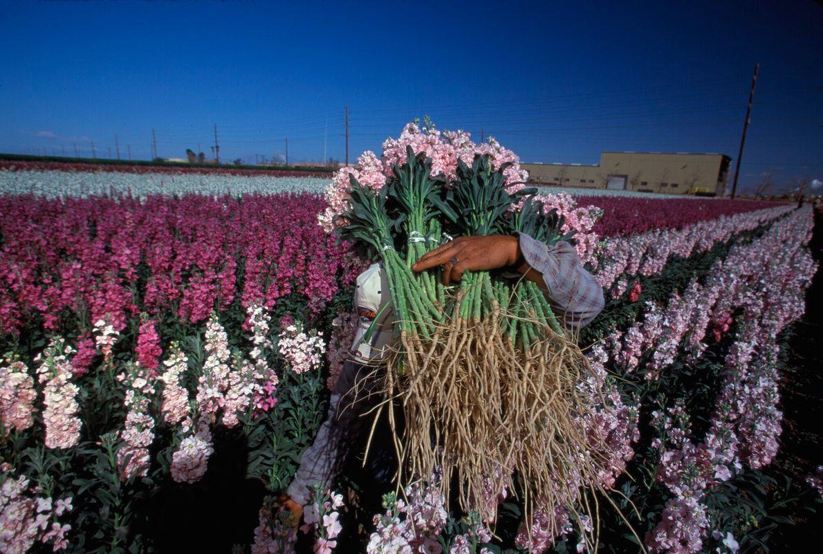 Foto de trabalhador colhendo flores em uma plantação