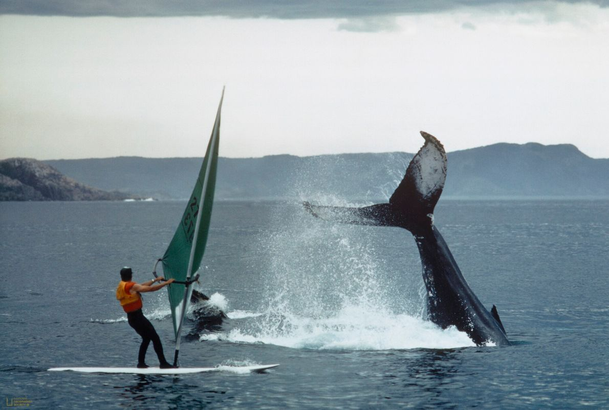foto de duas baleias jubartes ao lado de um praticante de windsurf no mar